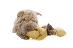 Perro de perrito de Shar-Pei con un hueso imágenes de archivo libres de regalías