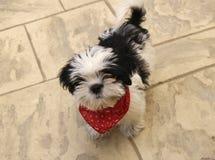 Perro de perrito de Shih Tzu con la bufanda Imagenes de archivo