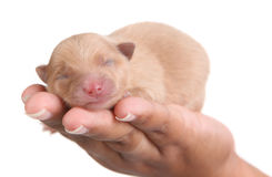 Perro de perrito de Tan Pomeranian a disposición fotografía de archivo