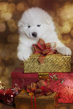 Perro de perrito de un mes del samoyedo con los regalos de la Navidad Fotografía de archivo libre de regalías