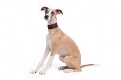 Perro de perrito de Whippet Fotos de archivo