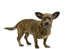 Perro de perrito del perro basset de la chihuahua de Chiweenie Fotografía de archivo