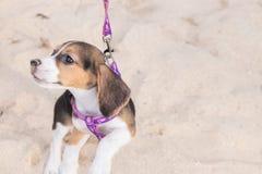 Perro de perrito del beagle en la playa de la isla tropical Bali, Indonesia foto de archivo libre de regalías