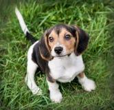 Perro de perrito del beagle que se sienta en hierba Imagenes de archivo