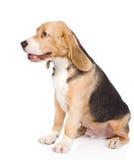 Perro de perrito del beagle que se sienta en perfil Aislado en blanco Fotografía de archivo