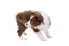 Perro de perrito del border collie delante de un fondo blanco Imagen de archivo