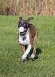 Perro de perrito del boxeador que corre con una bola Imágenes de archivo libres de regalías