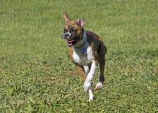 Perro de perrito del boxeador que corre a través de un campo herboso Imagen de archivo