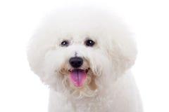 Perro de perrito del frise de Bichon Imagenes de archivo