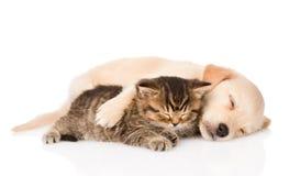 Perro de perrito del golden retriever y gato británico que duermen junto Aislado