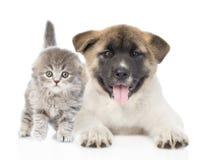 Perro de perrito del inu de Akita del japonés que miente con el pequeño gato escocés Aislado Fotografía de archivo