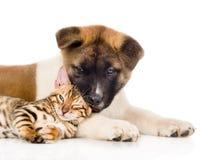 Perro de perrito del inu de Akita del primer que juega el pequeño gato de Bengala junto Aislado en blanco Foto de archivo libre de regalías