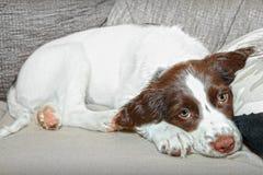 Perro de perrito del perro de aguas Fotos de archivo