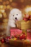 Perro de perrito del samoyedo con los regalos de la Navidad Imagenes de archivo