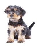 Perro de perrito del terrier de Yorkshire Foto de archivo libre de regalías