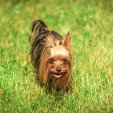 Perro de perrito del terrier de Yorkshire que camina en la hierba Fotos de archivo libres de regalías