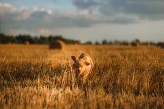 Perro de perrito del Toller en un campo en la puesta del sol Imagenes de archivo