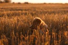 Perro de perrito del Toller en un campo en la puesta del sol Imágenes de archivo libres de regalías