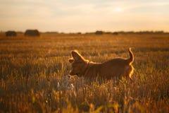 Perro de perrito del Toller en un campo en la puesta del sol Imagen de archivo