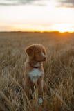 Perro de perrito del Toller en un campo en la puesta del sol Foto de archivo