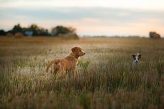 Perro de perrito del Toller en un campo en la puesta del sol Foto de archivo libre de regalías