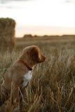 Perro de perrito del Toller en un campo en la puesta del sol Fotos de archivo
