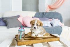 Perro de perrito divertido lindo en placa en casa imagen de archivo