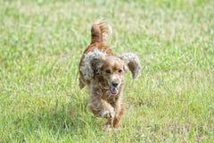 Perro de perrito feliz que corre a usted Imagen de archivo libre de regalías