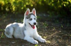 Perro de perrito fornido Imagen de archivo libre de regalías