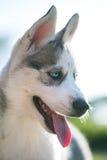 Perro de perrito fornido Foto de archivo