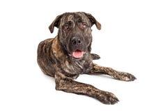 Perro de perrito gigante de la raza Foto de archivo