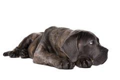 Perro de perrito gris del corso del bastón Imágenes de archivo libres de regalías