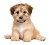 Perro de perrito havanese de la sentada linda imágenes de archivo libres de regalías