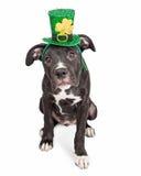 Perro de perrito irlandés de la celebración foto de archivo libre de regalías