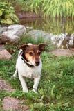 Perro de perrito de Jack Russell que se coloca en hierba verde fotos de archivo