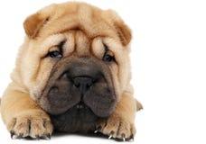 Perro de perrito joven del sharpei Fotos de archivo libres de regalías