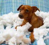 Perro de perrito juguetón travieso después de morder una almohada Foto de archivo libre de regalías
