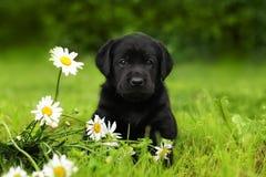 Perro de perrito Labrador que se sienta al aire libre en verano Fotografía de archivo