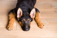 Perro de perrito lindo cansado que mira para arriba imagen de archivo