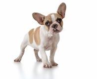 Perro de perrito lindo con la pista inclinada Foto de archivo libre de regalías