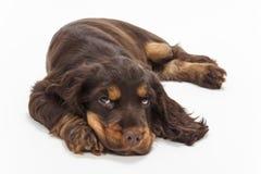 Perro de perrito lindo de cocker spaniel que mira para arriba fotos de archivo libres de regalías