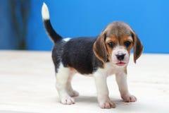 perro de perrito lindo del beagle Imágenes de archivo libres de regalías
