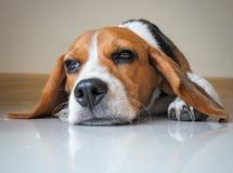 Perro de perrito lindo del beagle del retrato Fotos de archivo libres de regalías
