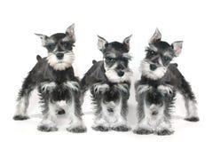 Perro de perrito lindo del Schnauzer miniatura del bebé en blanco Imagen de archivo
