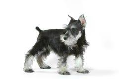 Perro de perrito lindo del Schnauzer miniatura del bebé en blanco Imagen de archivo libre de regalías