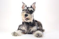 Perro de perrito lindo del Schnauzer miniatura en el fondo blanco Fotos de archivo