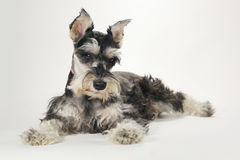 Perro de perrito lindo del Schnauzer miniatura en el fondo blanco foto de archivo