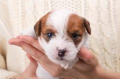 Perro de perrito lindo en las manos humanas que miran in camera Fotos de archivo libres de regalías
