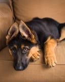 Perro de perrito lindo en un sofá imagen de archivo