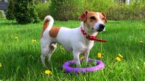 Perro de perrito lindo Jack Russell en hierba fresca del verano